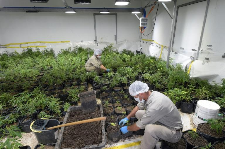 Uruguay's government allows only two private companies to produce commercial cannabis, though several others are working on derivatives, particularly for medical purposes