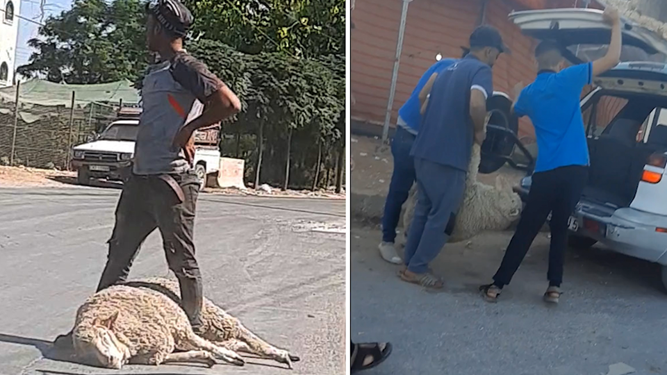 Left - a man stands over a sheep lying on the road. Right - men haul a sheep into the back of a car.