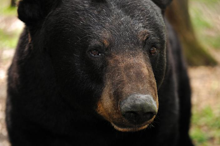 Black bear (Ursus americanus) captive, Florida, USA