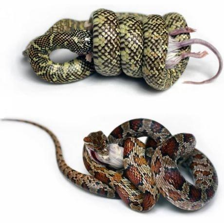 Top: an eastern kingsnake; bottom: a corn snake, which is a species of ratsnake.