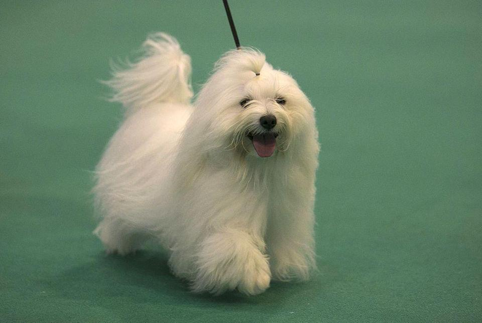"""<p>The Coton de Tulear is also known as the """"Royal Dog of Madagascar."""" These pups are loved for their soft, cotton-like coats, and lively and playful personalities. <strong><br></strong></p><p><strong>Weight: 8-15 pounds</strong></p>"""
