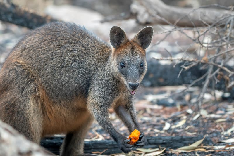 Wallaby eats after NSW's DPIE workers air-dropped food around national parks
