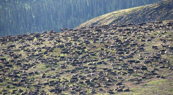 Thousands of caribou gather just west of Alaska's Noatak National Preserve in early July, 2012, to avoid the harassment of insects.