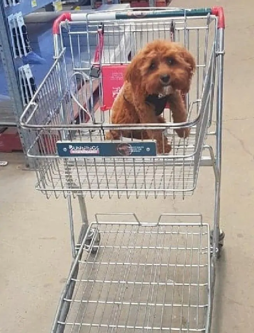 Dog in Trolley bunnings