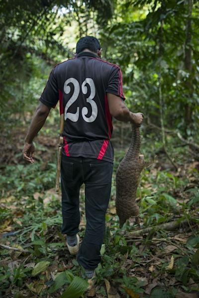 Due to their mild nature and lack of defence, pangolins are easily caught by humans when found.