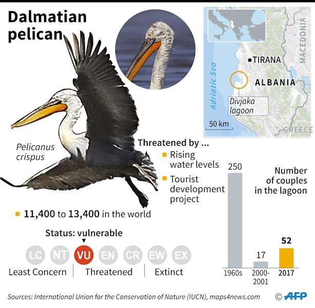 The Dalmatian Pelican, which is back in the Divjaka Lagoon in western Albania (AFP Photo/Paul DEFOSSEUX)