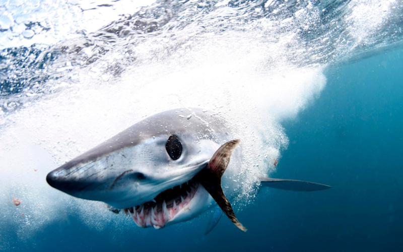 Shortfin Mako sharks can reach speeds of 80 miles per hour - Caters News Agency