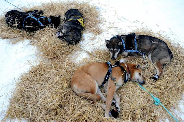 Brownie, foreground, a sled dog in Mike Surenant's team, rests at the Finger Lake checkpoint in Alaska during the Iditarod Trail Sled Dog Race on Monday, March 4, 2013. (AP Photo/The Anchorage Daily News, Bill Roth)