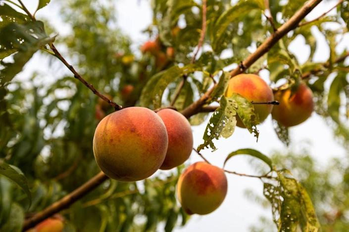 Peaches were among the many fruits like apples and blackberries for visitors to pick at Eckerts Orchard in Versailles, July 29, 2021. This was Eckerts Orchards first year the peach orchard had produced fruit after planting them in 2018.