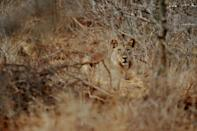 Lions have lost more than 90 percent of their range and their numbers over the last 150 years (AFP/Roberto SCHMIDT)