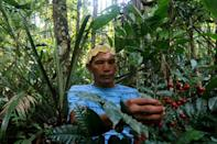 Valdiney Satere, a leader of the Satere Mawe indigenous tribe, gathers caferana, a plant used in medicinal remedies in Brazil's Amazon region