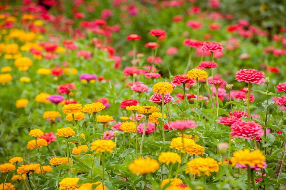 <p>This colorful summer annual can be planted by seed directly into the garden in March, or after the last frost. For best results, plant seeds a few inches apart in full sun. (Although zinnias will bloom in partial shade, they will have fewer flowers and may be more susceptible to disease.)</p>