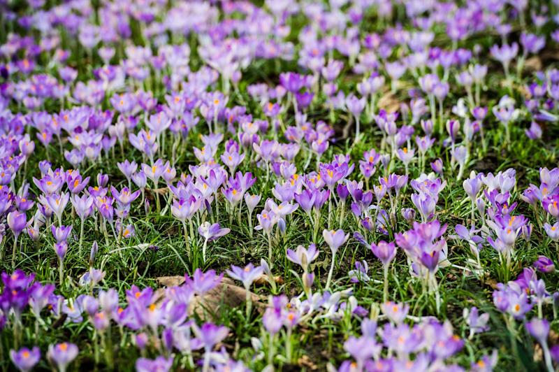 Crocus bulbs in full bloom at Royal Victoria Park, Bath, as a blast of Caribbean hot air is set to push UK temperatures higher - Credit: Ben Birchall/PA