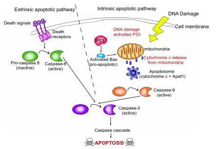Hallmarks of Cancer 3: Evading Apoptosis