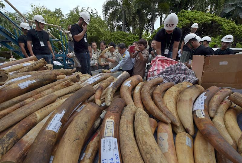 Thai Department of National Parks (DNP) workers display pieces of ivory during a destruction ceremony in Bangkok on August 26, 2015 (AFP Photo/Pornchai Kittiwongsakul)