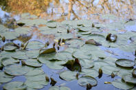 Trees in late autumn are reflected among the water lilies on the surface of the reflecting pond in the Japanese Garden at Lotusland, Monday, Nov. 23, 2020, in Montecito, Calif. The recently drained and reconstructed central pond has a new liner and biofiltration system installed for improved water quality. Several varieties of aquatic plants were put in the pond during its renovation. (AP Photo/Pamela Hassell)