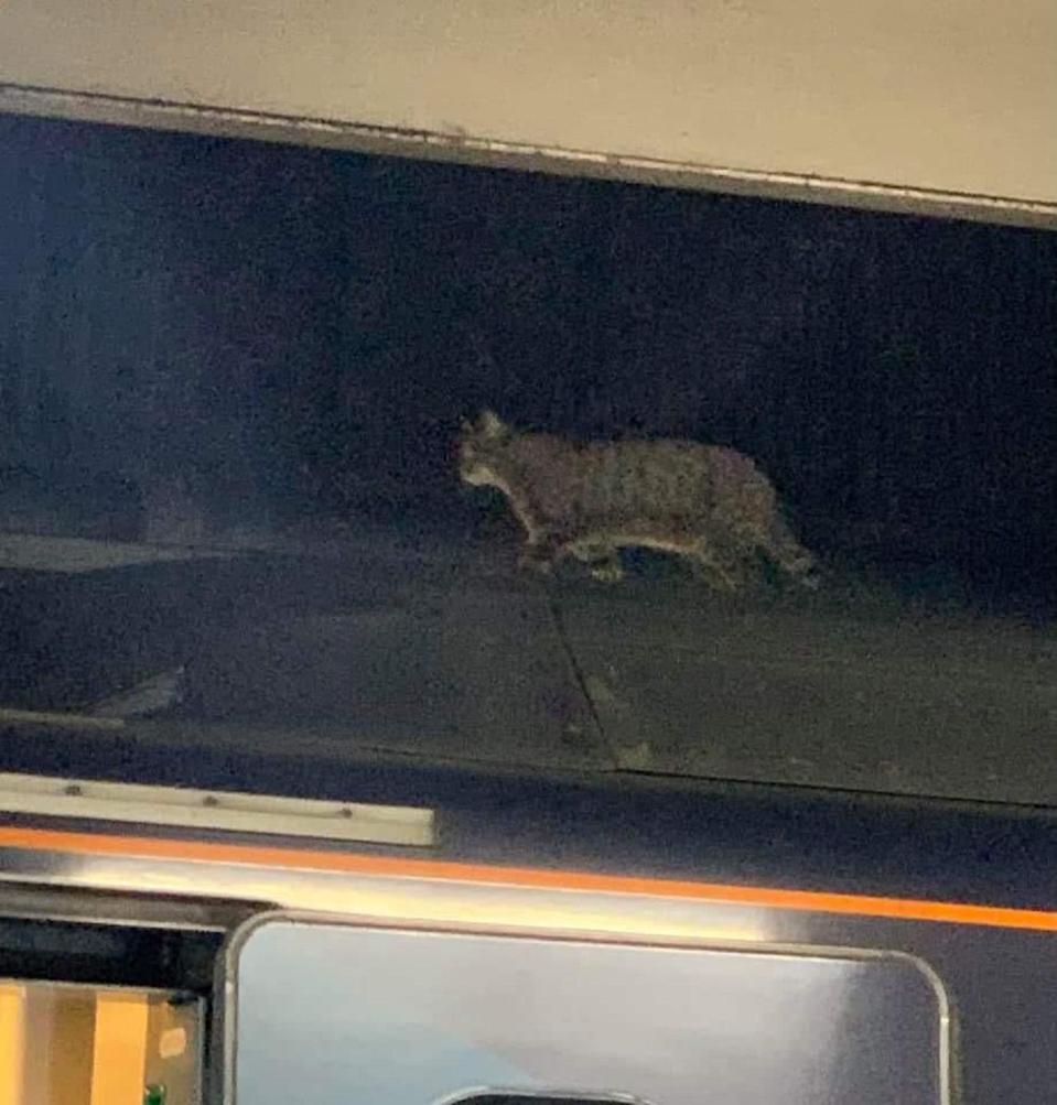 A cat walks about on top of a train at London Euston station