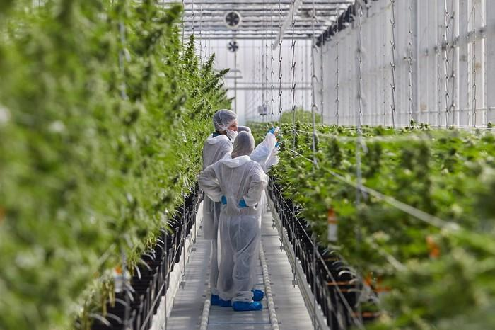 Two people in protective suits in a greenhouse with cannabis plants growing around them.