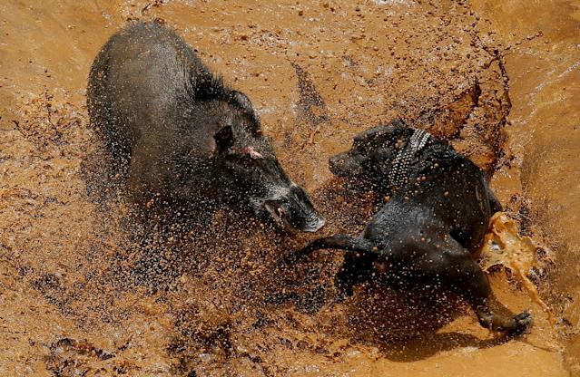 <p>A dog and wild boar fight during a contest, known locally as 'adu bagong' (boar fighting), in Cikawao village of Majalaya, West Java province, Indonesia, Sept. 24, 2017. (Photo: Beawiharta/Reuters) </p>