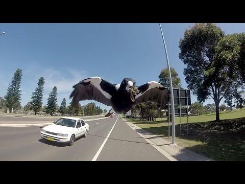 <p>Magpies harassing cyclists is a common sight in Australia, but this video makes us glad we've never crossed one of these birds. </p><p><span>See the original post on Youtube</span></p>