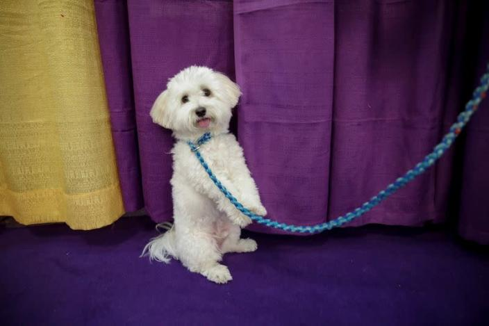 A dog waits to take part in the Masters Agility Championship during the Westminster Kennel Club Dog Show in New York