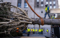 A worker walks across the trunk of the 2020 Rockefeller Center Christmas tree, a 75-foot tall Norway Spruce that was acquired in Oneonta, N.Y., as it is prepared for setting on a platform at Rockefeller Center Saturday, Nov. 14, 2020, in New York. (AP Photo/Craig Ruttle)