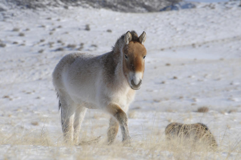 In this January 2010 photo provided by the journal Nature via Przewalski's Horse Association, a Przewalski's horse is shown in Khomyntal, western Mongolia, in one of three reintroduction sites. From a tiny fossil bone found in the frozen Yukon, scientists have deciphered the genetic code of an ancient horse about 700,000 years old _ nearly 10 times older than any other animal that has had its genome mapped. The researchers also found new evidence that the endangered Przewalski's horse, found in Mongolia and China, is the last surviving wild horse. It is genetically distinct from domestic horses. (AP Photo/Przewalski's Horse Association via Nature, Claudia Feh)