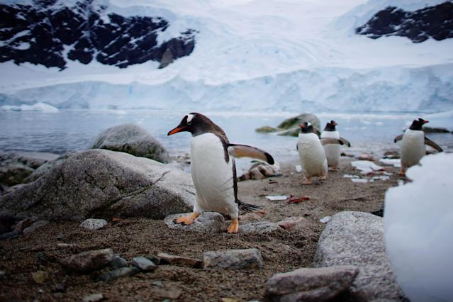 """Penguins come ashore in Neko Harbour, Antarctica, February 16, 2018. REUTERS/Alexandre Meneghini SEARCH """"ANTARCTICA"""" FOR THIS STORY. SEARCH """"WIDER IMAGE"""" FOR ALL STORIES. TPX IMAGES OF THE DAY"""