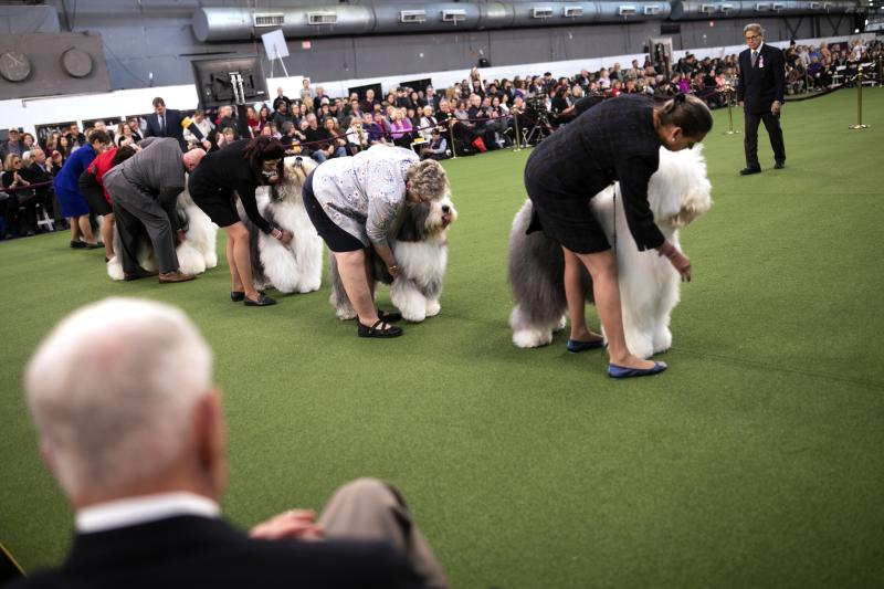 Old English sheepdogs compete at the Westminster Kennel Club Dog Show on Sunday, Feb. 9, 2020, in New York. (AP Photo/Wong Maye-E)
