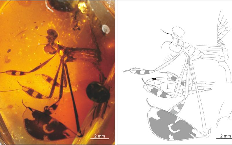 A damselfly was caught in the act of displaying to a female when he was trapped in amber  - Nanjing Institute of Geology and Palaeontology