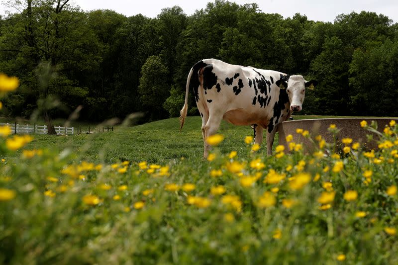 FILE PHOTO: A dairy cow is seen at the South Mountain Creamery farm in Middletown