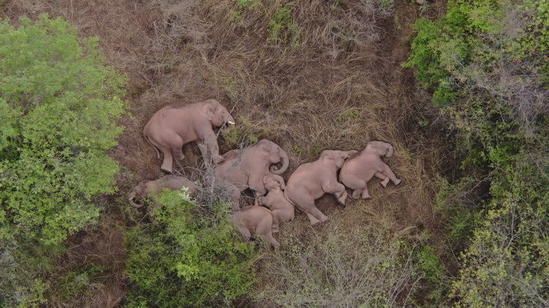 Wild Asian elephants lie on the ground and rest in Jinning district of Kunming