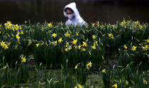 A pedestrian wearing a face covering due to the Covid-19 pandemic walks past blooming daffodils in a park in London, Friday, Feb. 19, 2021, as the lockdown in Britain continues. Britain has given a first vaccine shot to over 15 million people, almost a quarter of the population.(AP Photo/Frank Augstein)