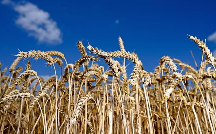 Wheat ripe for harvesting shines against a blue sky