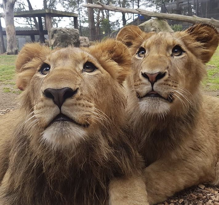 Two lions are pictured at Shoalhaven Zoo.