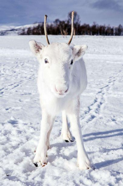 PHOTO: Photographer Mads Nordsveen was hiking in Northern Norway when he encountered a baby white reindeer, Dec. 3, 2018. (Mads Nordsveen/Caters News)
