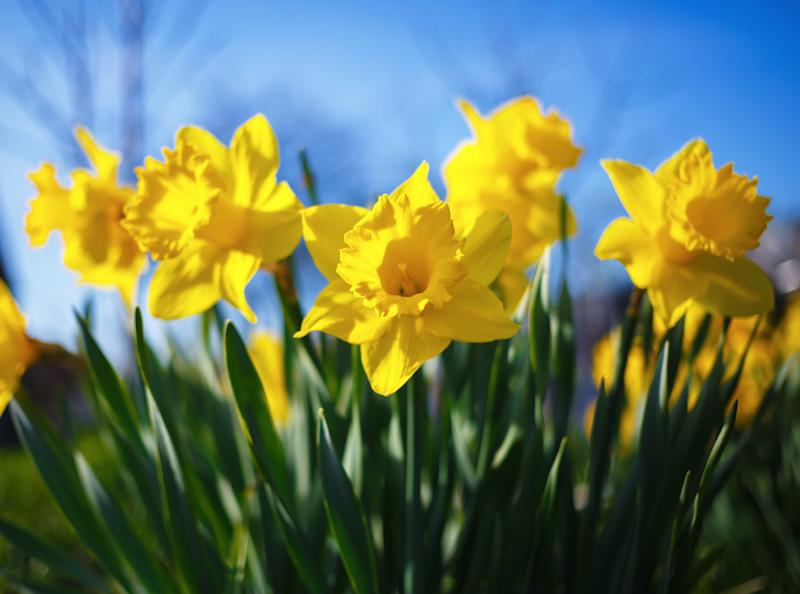 Flowering daffodils. Blooming yellow narcissus flowers. Spring flowers. Shallow depth of field. Selective focus.