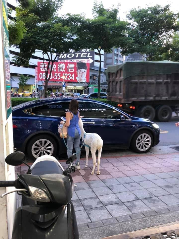 The Alpaca on a leash is seen approaching the car. (爆料公社 臉書/NOWnews/The China Post)