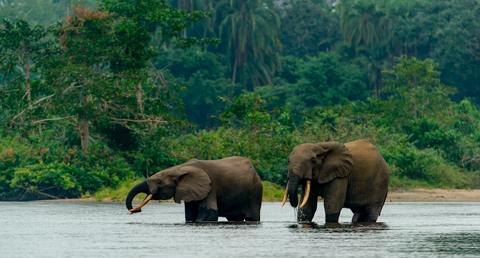 Forest elephants are listed as critically endangered. Source: Getty