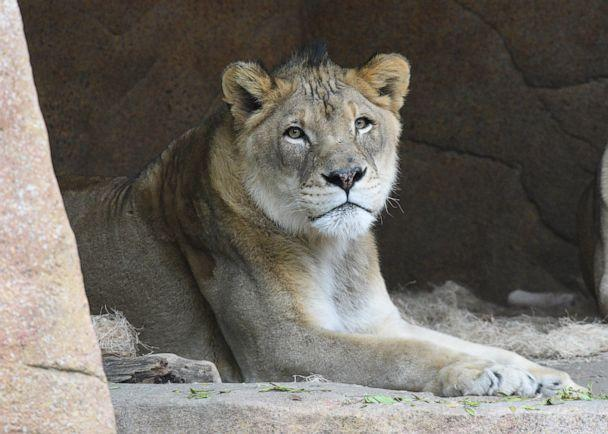 PHOTO: Zenda, who was also 14-years-old at the time of his death on Jan 2, 2020, had been observed having trouble standing and walking at the end of last year. (Chicago Zoological Society)