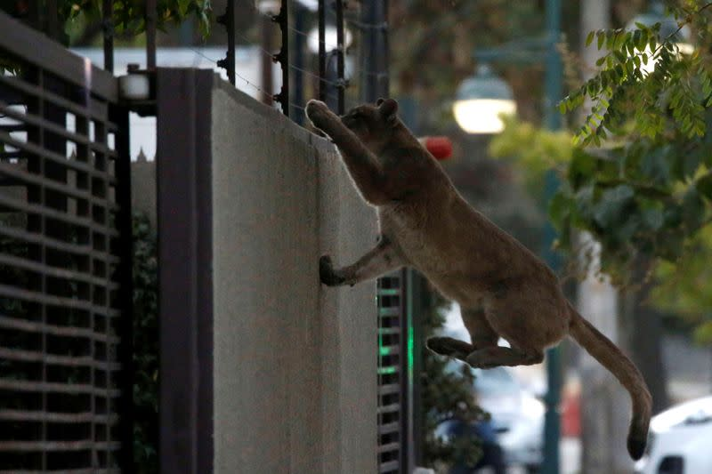 Shutdown Chilean capital gets visit from a cougar
