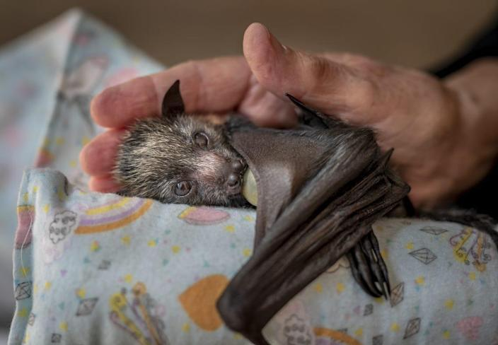 baby bat lies on table with baby blanket with a human hand cradling the bat