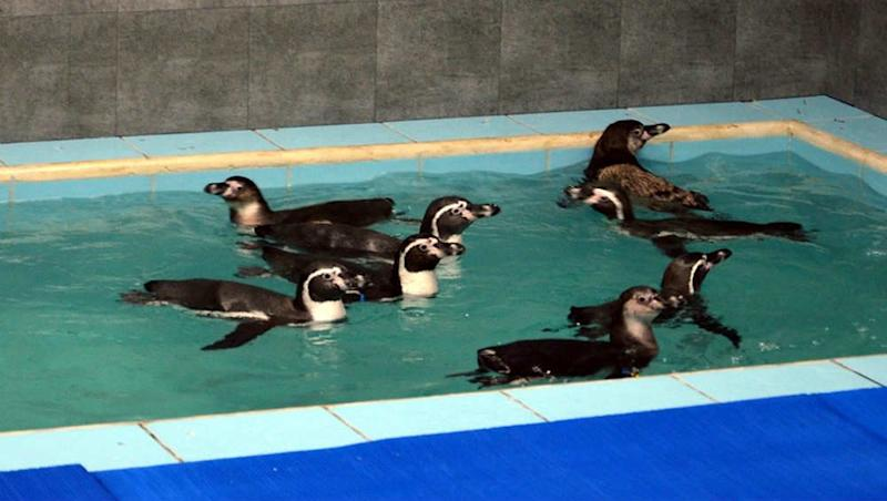 Humboldt Penguins at Byculla Zoo: BMC Mulls Hiring Private Contractor To Look After Aquatic Birds