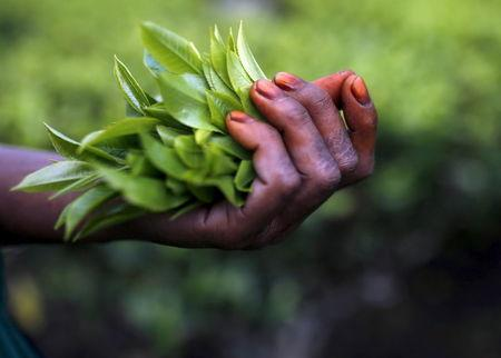 Freshly plucked tea leaves are seen in the hand of a tea garden worker inside Aideobarie Tea Estate in Jorhat in Assam, India, April 21, 2015. REUTERS/Ahmad Masood