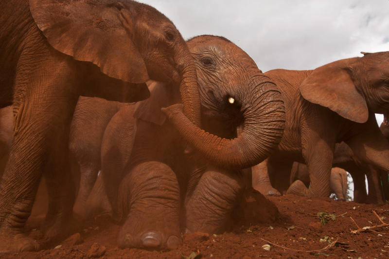 Two baby orphaned elephants touch trunks as they give themselves a dust-bath in the red earth after being fed milk from a bottle by a keeper, at an event to commemorate World Environment Day at the David Sheldrick Wildlife Trust Elephant Orphanage in Nairobi, Kenya Wednesday, June 5, 2013. Trust founder Daphne Sheldrick said at the event, which was attended by U.S. Ambassador to Kenya Robert Godec, that they are seeing an upsurge in orphaned elephants because of the poaching crisis occurring across Africa. (AP Photo/Ben Curtis)