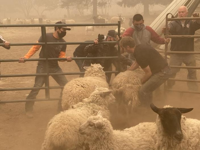 "Volunteers struggle to gather sheep for rescue near Colton, Ore., in the Riverside wildfire south of Portland. <span class=""copyright"">(Richard Read / Los Angeles Times)</span>"