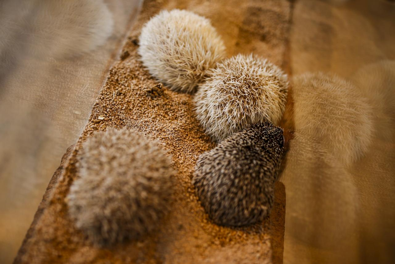 """Hedgehogs sit in a glass enclosure at the Harry hedgehog cafe in Tokyo, Japan, April 5, 2016. In a new animal-themed cafe, 20 to 30 hedgehogs of different breeds scrabble and snooze in glass tanks in Tokyo's Roppongi entertainment district. Customers have been queuing to play with the prickly mammals, which have long been sold in Japan as pets. The cafe's name Harry alludes to the Japanese word for hedgehog, harinezumi. REUTERS/Thomas Peter SEARCH """"HEDGEHOG THOMAS"""" FOR THIS STORY. SEARCH """"THE WIDER IMAGE"""" FOR ALL STORIES"""