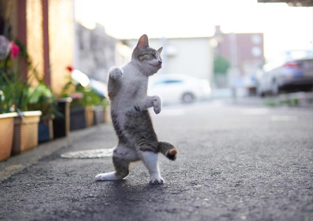 <p><span>Some cats are good at dancing and twisting. </span>(Photo: Hisakata Hiroyuki/Caters News) </p>