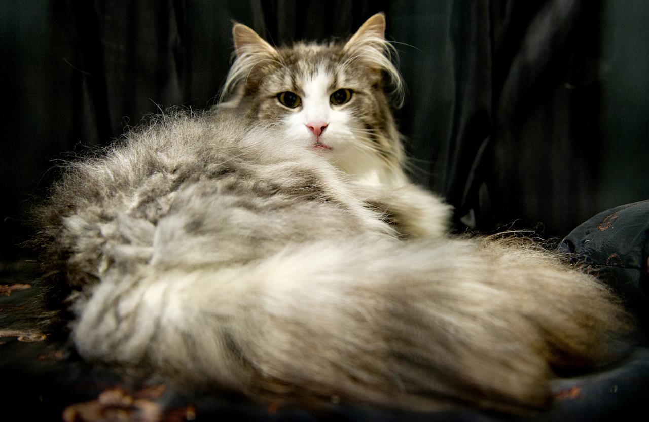 <p>Norspirit Miss Florence, a Norwegian Forest Cat participates in the GCCF Supreme Cat Show at National Exhibition Centre on October 28, 2017 in Birmingham, England. (Photo: Shirlaine Forrest/WireImage) </p>