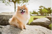 """<p>Dogtime.com says that these tiny puppers grow to be <a href=""""https://dogtime.com/dog-breeds/pomeranian#/slide/1"""" rel=""""nofollow noopener"""" target=""""_blank"""" data-ylk=""""slk:three to seven pounds"""" class=""""link rapid-noclick-resp"""">three to seven pounds</a> — and most of that is just fluff. But even though they're small, they have feisty personalities. Pomeranians prove that big things come in little packages.</p>"""